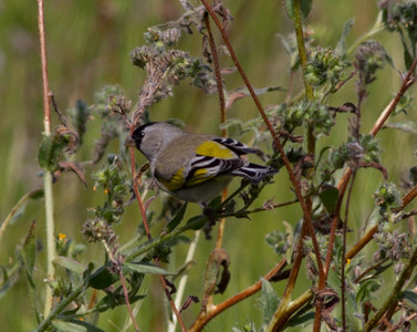 Lawrence`s Goldfinch  Carlsbad 2012 02 28 (3 of 3).CR2