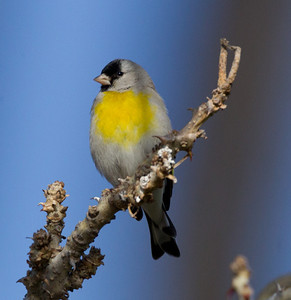 Lawrence`s Goldfinch  Carlsbad 2012 02 29 (1 of 8).CR2