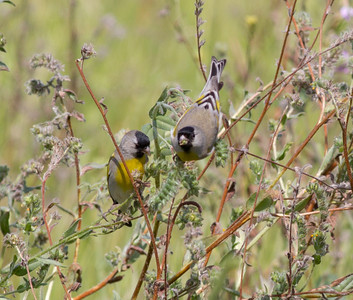 Lawrence`s Goldfinch  Carlsbad 2012 02 28 (2 of 3).CR2