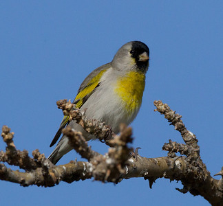 Lawrence`s Goldfinch  Carlsbad 2012 02 29 (6 of 8).CR2