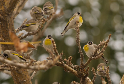 Lawrence`s Goldfinch  Carlsbad 2012 02 27 (5 of 8).CR2