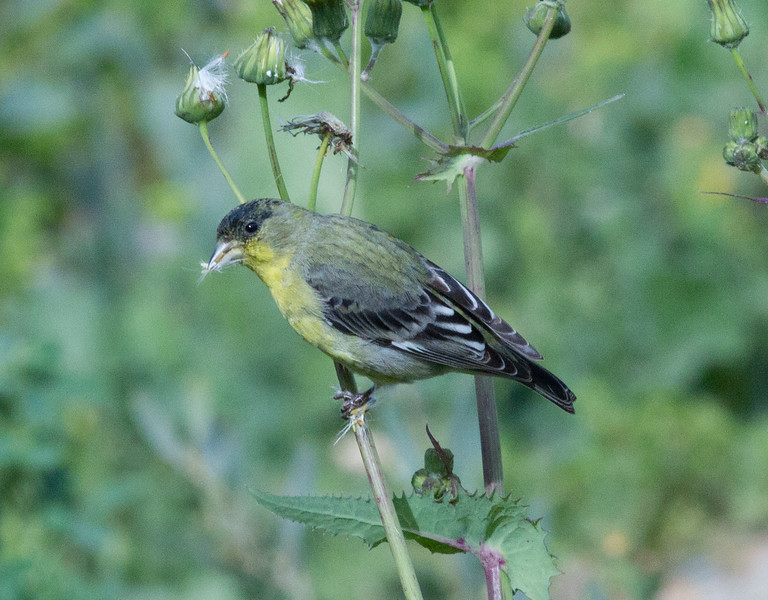 Lesser Goldfinch  Encinitas 2012 03 05 (2 of 4).CR2