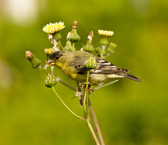 Lesser Goldfinch  Encinitas 2012 03 05 (4 of 4).CR2
