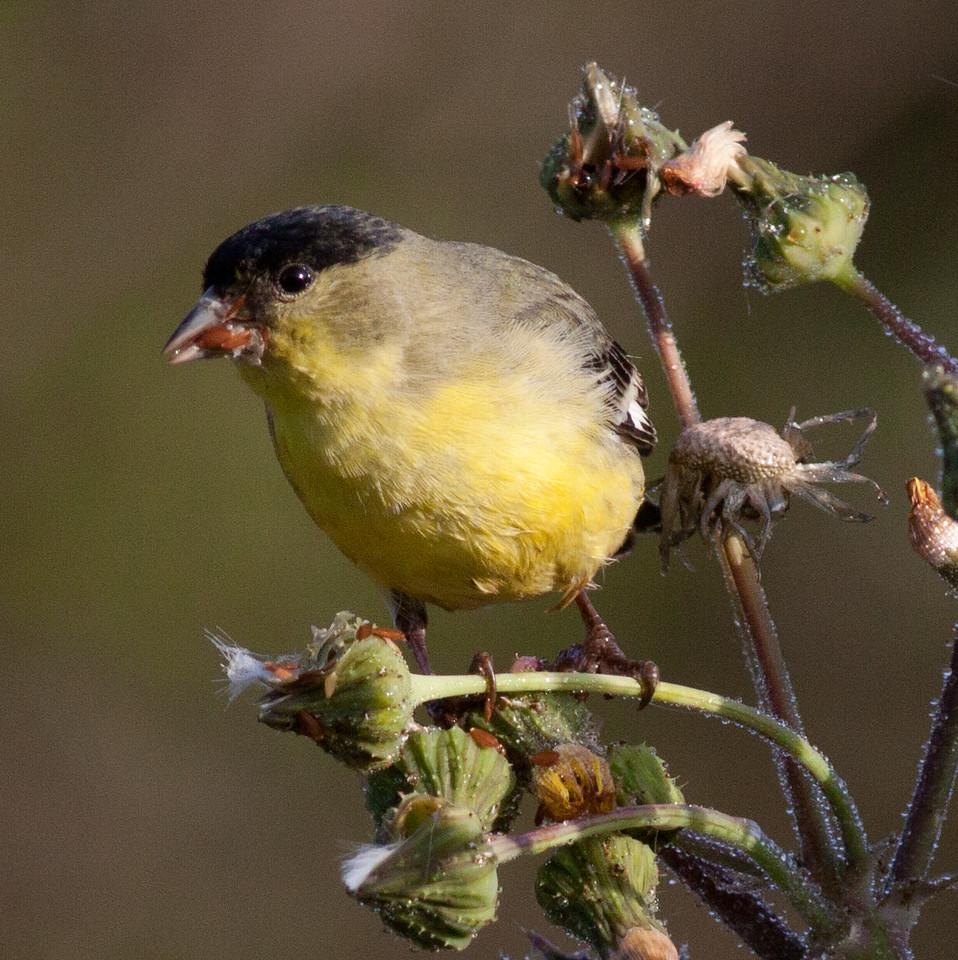 Lesser Goldfinch  Encinitas 2011 03 18-2.CR2