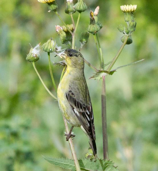 Lesser Goldfinch  Encinitas 2012 03 05 (1 of 4).CR2