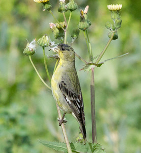 Lesser Goldfinch  Encinitas 2012 03 05 (1 of 4).CR2