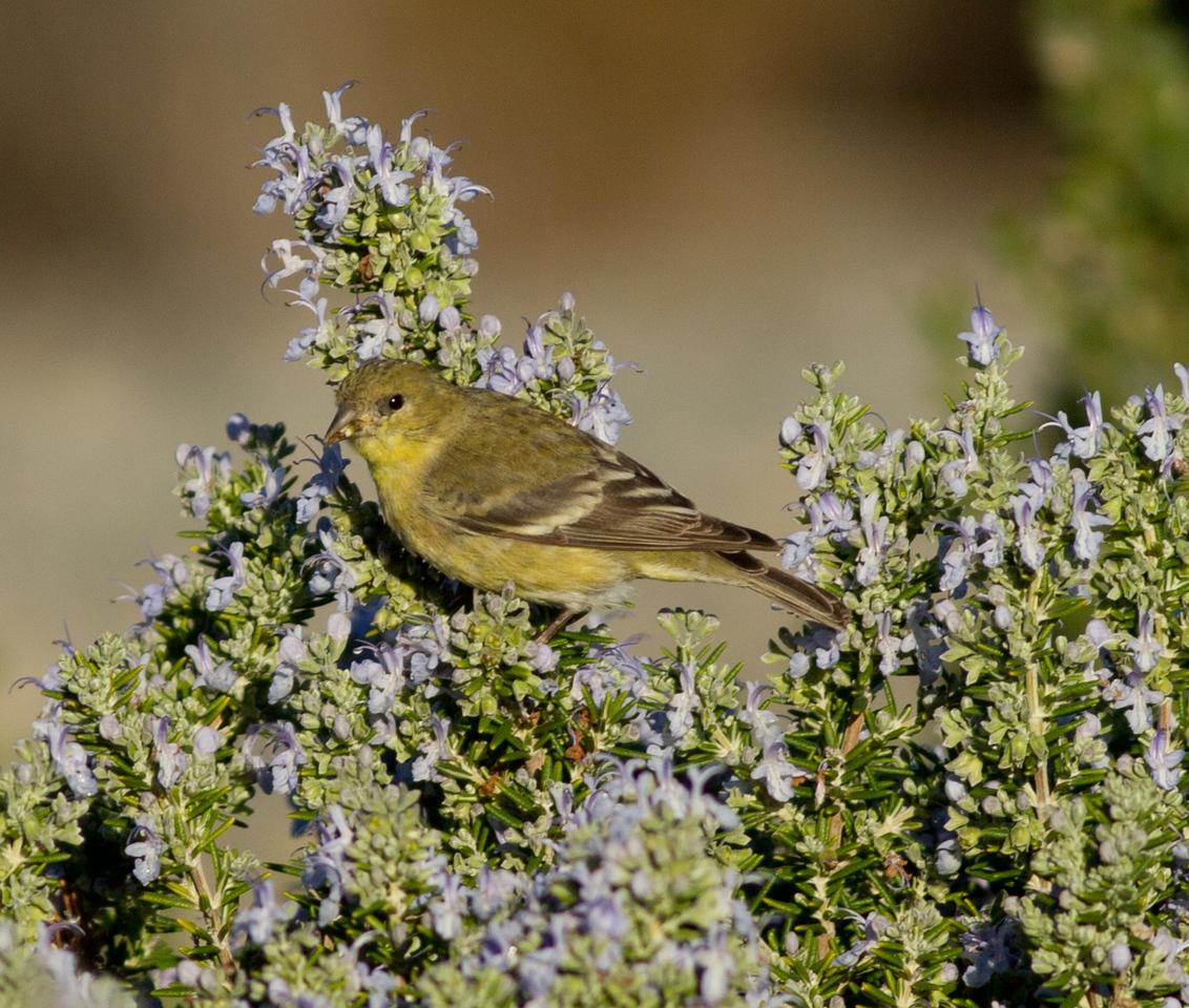 Lesser Goldfinch  Carlsbadl 2013 11 14.CR2