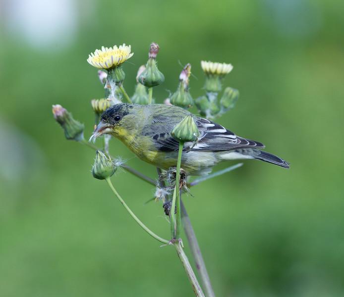 Lesser Goldfinch  Encinitas 2012 03 05 (4 of 4).CR2