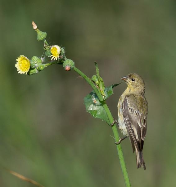 Lesser Goldfinch   Aviara 2013 08 21 (1 of 1).CR2