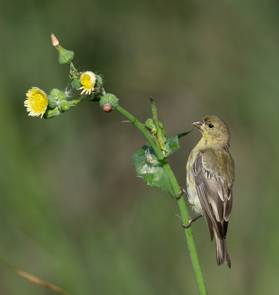 Lesser Goldfinch   Aviara 2013 08 21 (1 of 1).CR2