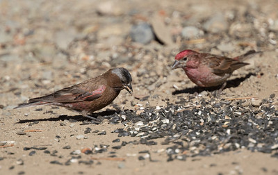 Gray-crowned Rosy-Finch Cassin`s Finch  Virginia Lakes 2018 07 24-1.CR2