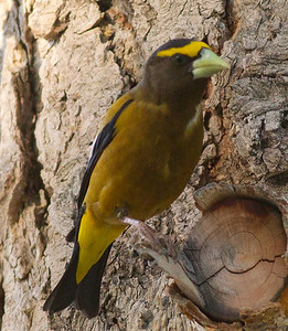 Evening Grosbeak  Mammoth Lakes  2012 06 16 (3 of 4).CR2