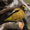 Evening Grosbeak  Crowley Lake 2016 05 26-1.CR2