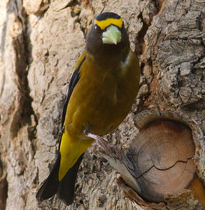 Evening Grosbeak  Mammoth Lakes  2012 06 16 (2 of 4).CR2