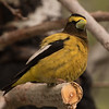Evening Grosbeak  Crowley Lake 2016 05 26-2.CR2