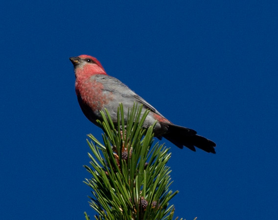 Pine Grosbeak    Mammoth Lakes 2012 08 28 (3 of 4)-1.CR2