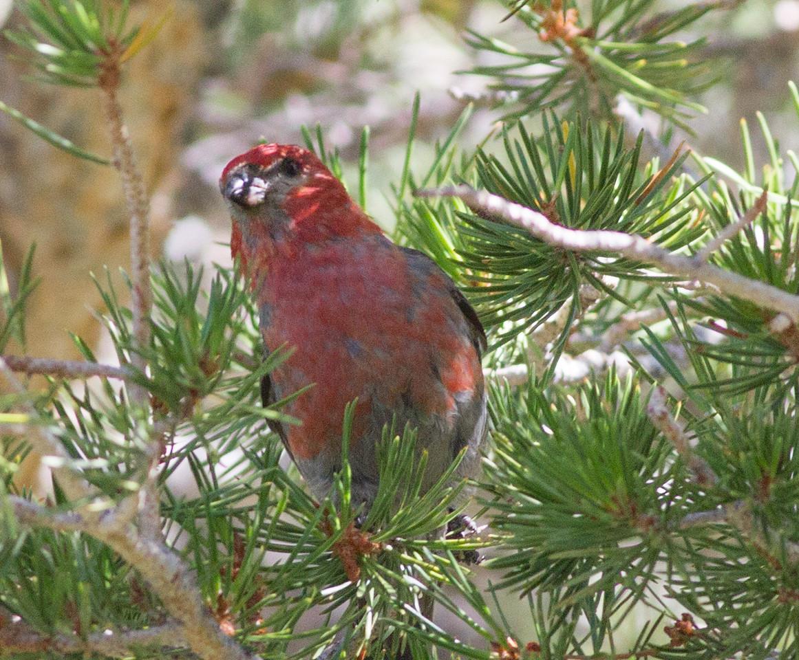 Pine Grosbeak  Mammoth Lakes 2014 07 23-13.CR2