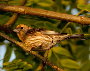House Finch Leucadia California 04 30 10