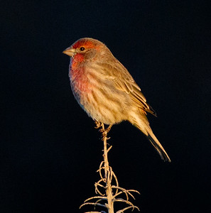 House Finch Batiquitos Lagoon 2011 10 12 (1 of 3).CR2