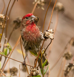 House Finch  Aviara 2013 05 26 (1 of 3).CR2