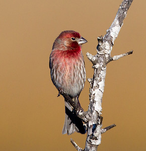 House Finch  San Elijo Lagoon 2014 01 02-2.CR2