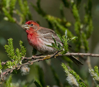 House Finch Aviara Resort 2014 03 31-1.CR2