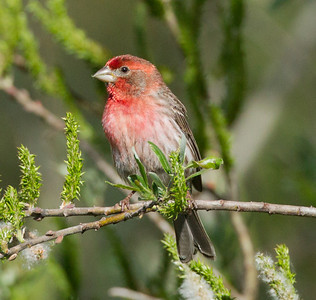 House Finch Aviara Resort 2014 03 31-2.CR2