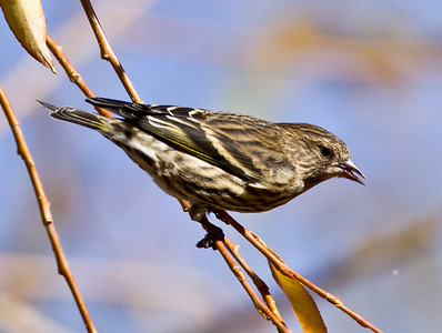 Pine Siskin  Crowley Lake 2012 10 27 (1 of 2).CR2 (1 of 1).CR2