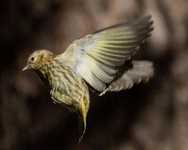 Pine Siskin   Mammoth Lakes 2012 08 27 (2 of 5).CR2