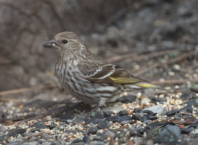 Pine Siskin Mammoth Lakes  2020 04 26-2.CR2