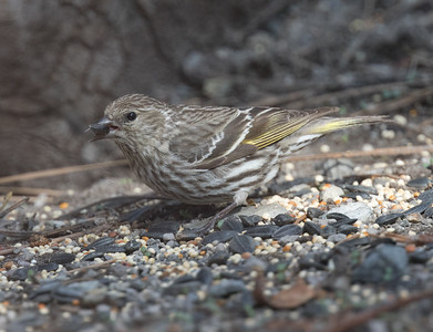 Pine Siskin Mammoth Lakes  2020 04 26-1.CR2
