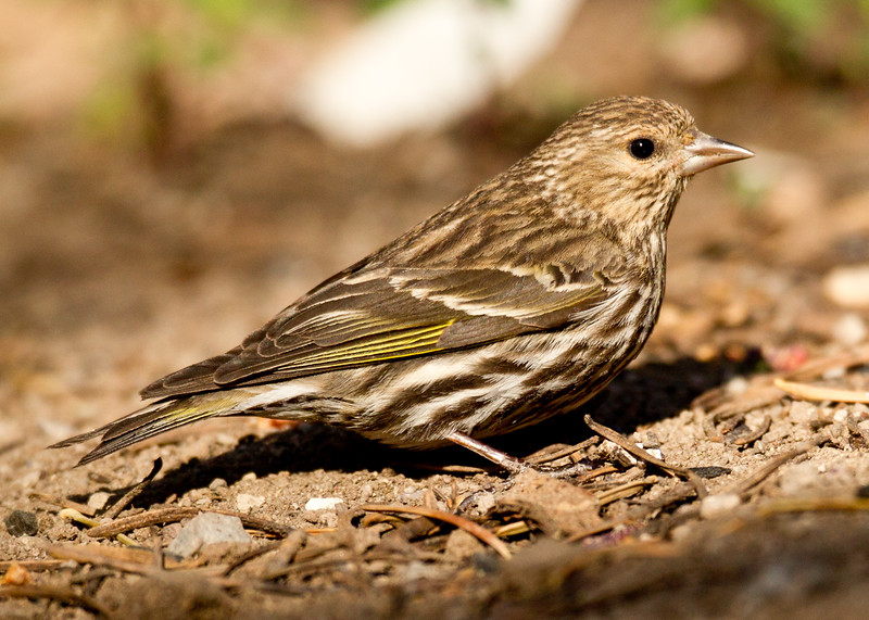 Pine Siskin  Mammoth Lakes  2013 05 20 (1 of 1).CR2