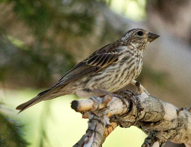Pine Siskin  Mammoth Lakes 2012 07 25 (1 of 2).CR2