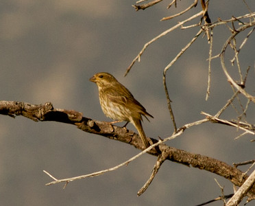 Purple Finch  Mt. Palomar 2012 06 07 (1 of 1).CR2