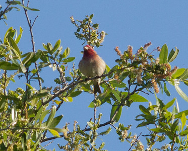 Purple Finch Camp Pendleton 2012 03 03-3.CR2