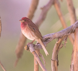 Purple Finch Mt Palomar 2016 05 14-2.CR2