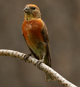 Red-crossbill Cold Water Campground Oregon 2021 08 05-3.CR3