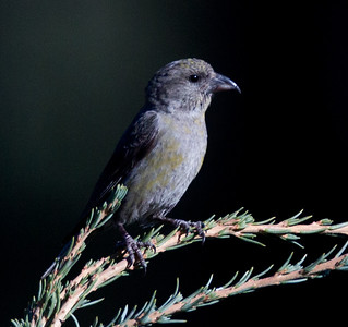 Red-crossbill  Mammoth Lakes 2013 09 14 (5 of 7).CR2