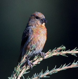 Red-crossbill  Mammoth Lakes 2013 09 14 (1 of 7).CR2
