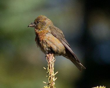 Red Crossbill  Mammoth Lakes 2013 08 15 (1 of 1).CR2