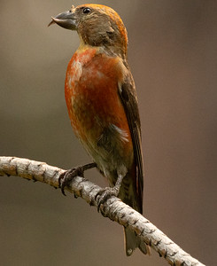 Red-crossbill Cold Water Campground Oregon 2021 08 05-1.CR3
