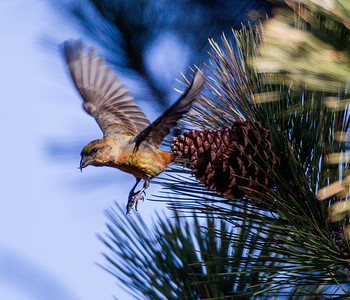 Red Crossbill Mammoth Lakes area 2015 03 20-2.CR2