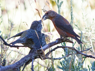 Red Crossbill Mammoth Lakes 2014 07 23.CR2