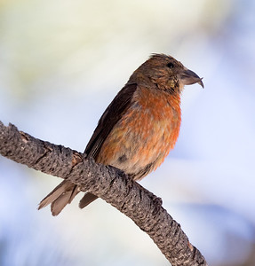 Red Crossbill Mammoth Lakes 2016 09 02-2.CR2