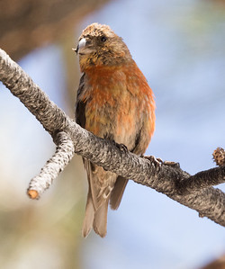 Red Crossbill Mammoth Lakes 2016 09 02-1.CR2