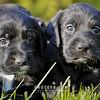Puppies-004