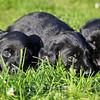 Puppies-011