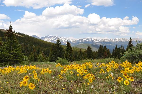 Wildflowers on Boreas Pass