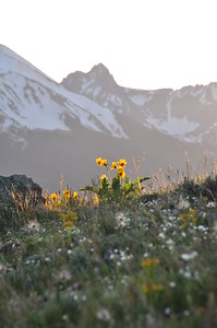 Wildflowers along Ptarmigan Trail in Summit County.