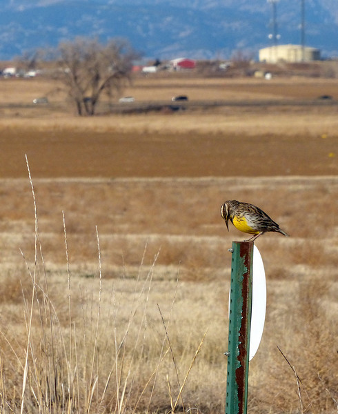 Pretty song coming from this Meadowlark. He is perched directly above the cache :)